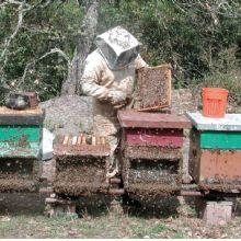 Perché si protegge l'apicoltore? Perché le api vogliono pungerlorlo?